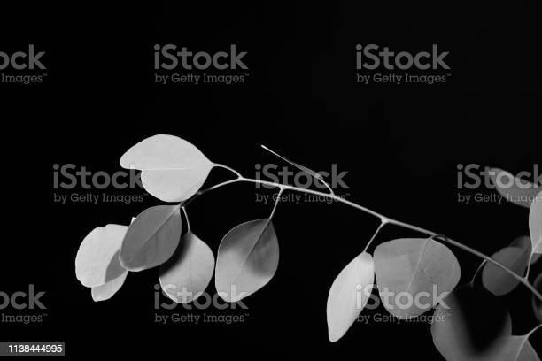 Creative monochrome double exposure of eucalyptus leaves shot against picture id1138444995?b=1&k=6&m=1138444995&s=612x612&h=aim4nrrv eyxla2ynz8uopx6tmnvjicrhehiid2tqds=