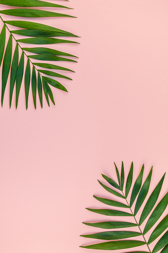 Creative Pink Background With Tropical Palm Leaves Stock Photo Download Image Now Istock Blue, red, and pink swiss cheese leaves print textile. creative pink background with tropical palm leaves stock photo download image now istock