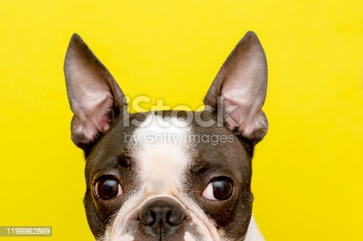 Boston Terriers are companion dogs that are perfect as loyal friends for modern residents of large cities. These cute dogs love people and animals, they are good-natured and take up little space, unpretentious in care.