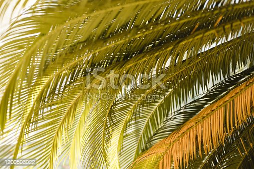 1146114680 istock photo Creative tropical green leaves layout. Nature summer concept. Tropical palm foliage. Sun over green palm leaves 1200503022