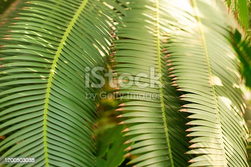 1146114680 istock photo Creative tropical green leaves layout. Nature summer concept. Tropical palm foliage. Sun over green palm leaves 1200503038