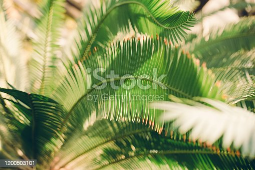 1146114680 istock photo Creative tropical green leaves layout. Nature summer concept. Tropical palm foliage. Sun over green palm leaves 1200503101