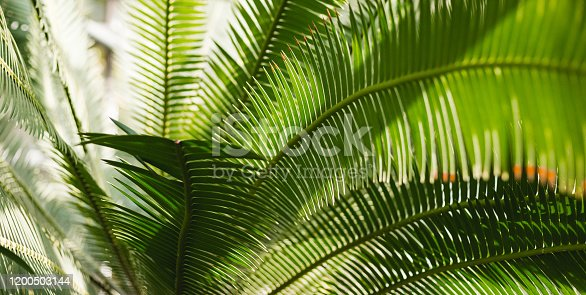1145102719 istock photo Creative tropical green leaves layout. Nature summer concept. Tropical palm foliage. Sun over green palm leaves 1200503144
