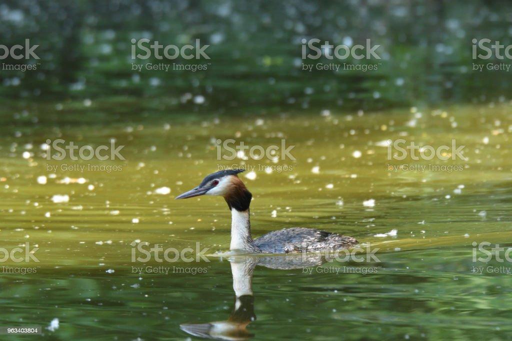 crebe crested floating on the green surface lake dabchick - Zbiór zdjęć royalty-free (Australia)