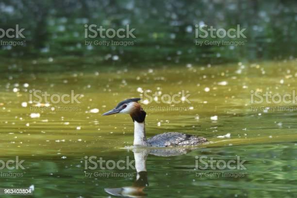 Crebe Crested Pływających Na Zielonej Powierzchni Jeziora Dabchick - zdjęcia stockowe i więcej obrazów Australia