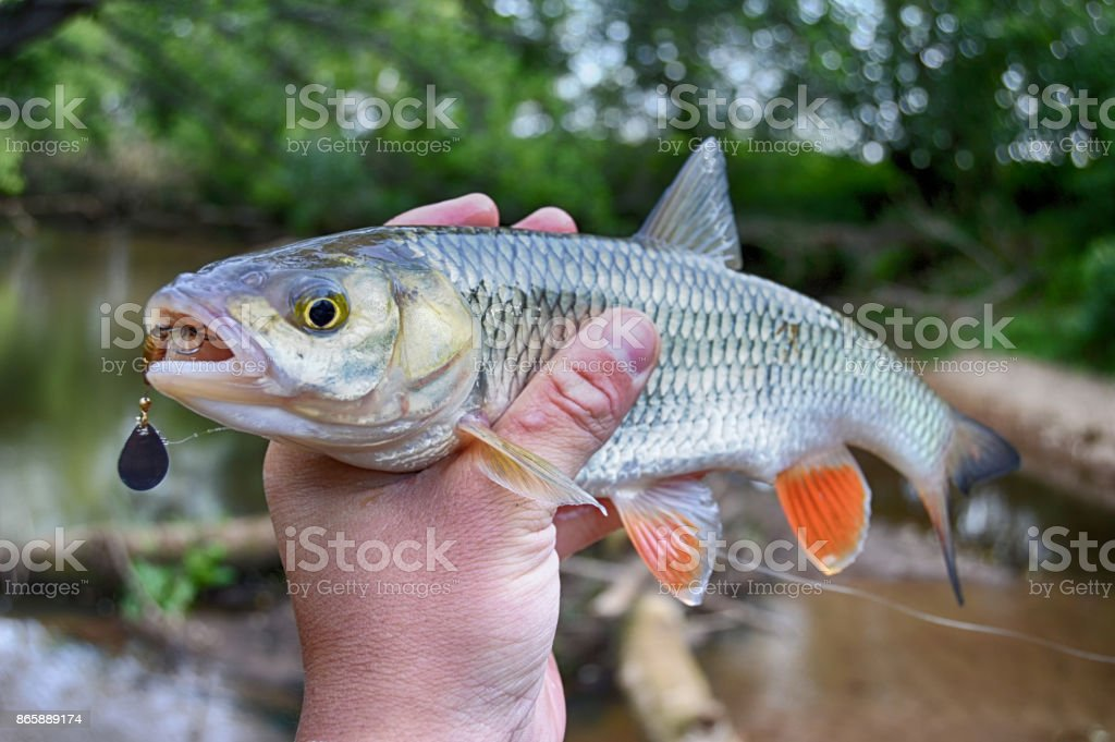 Creek chub in hand with fishing lure in mouth stock photo