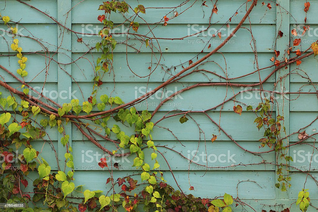 Creeper growing on an old wooden board wall. royalty-free stock photo