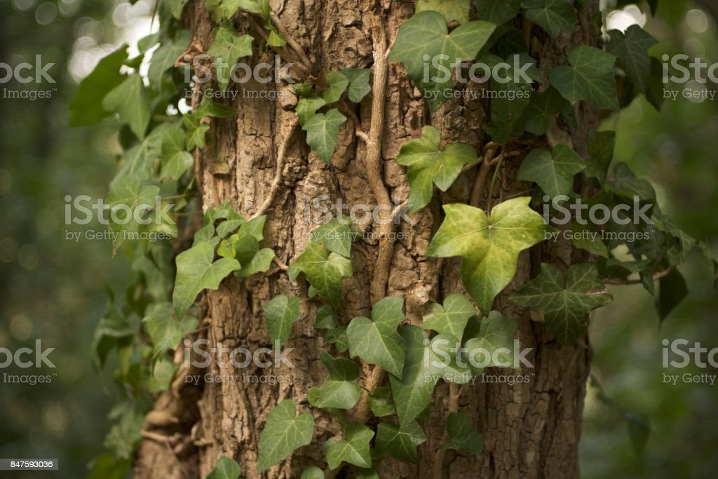 creeper on a tree in the woods stock photo