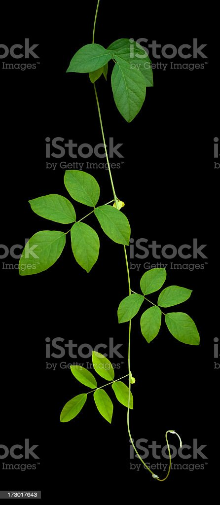 Creeper plant, isolated on black, clipping path included. royalty-free stock photo