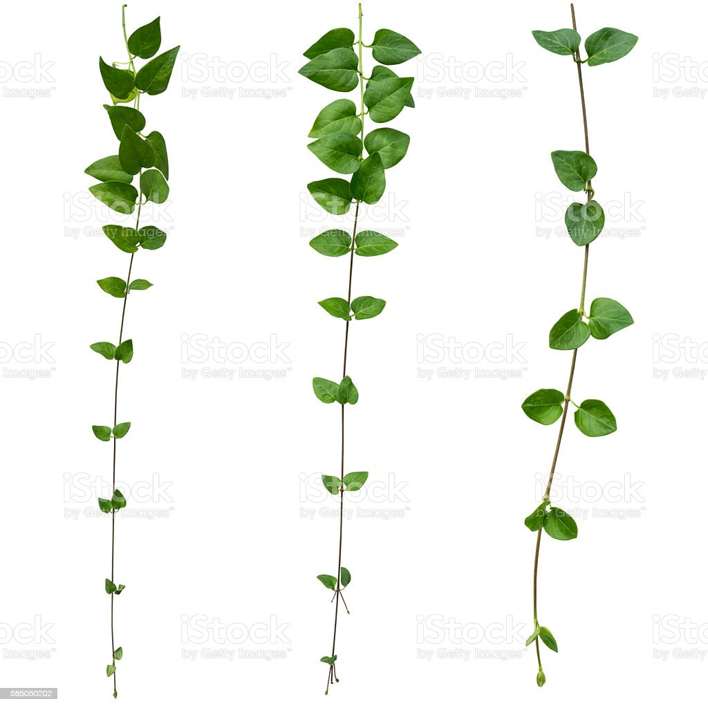 Creeper plant isolated on white background with clipping path stock photo