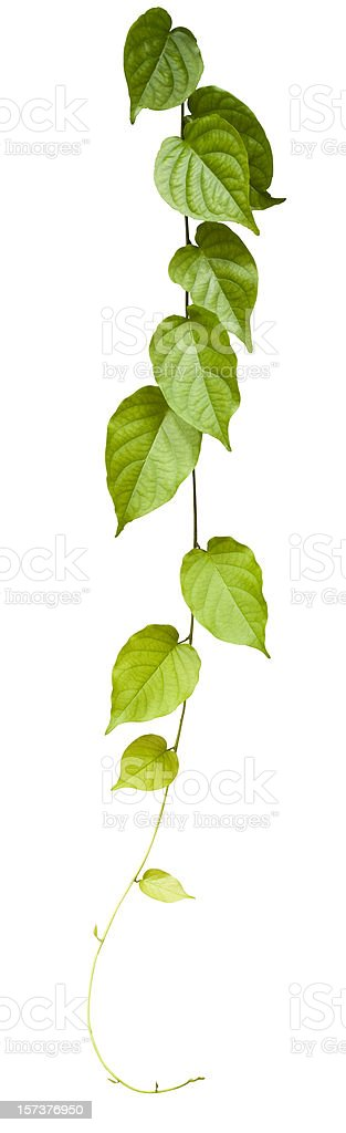 Creeper plant, isolated on white, clipping path included. royalty-free stock photo