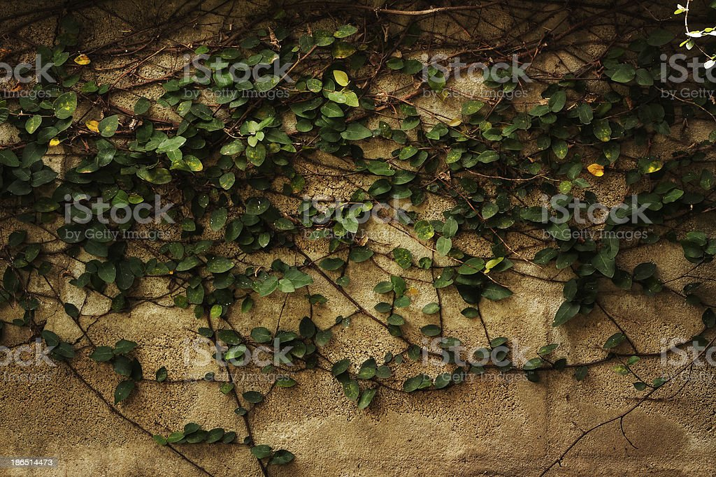 creeper plant on wall royalty-free stock photo