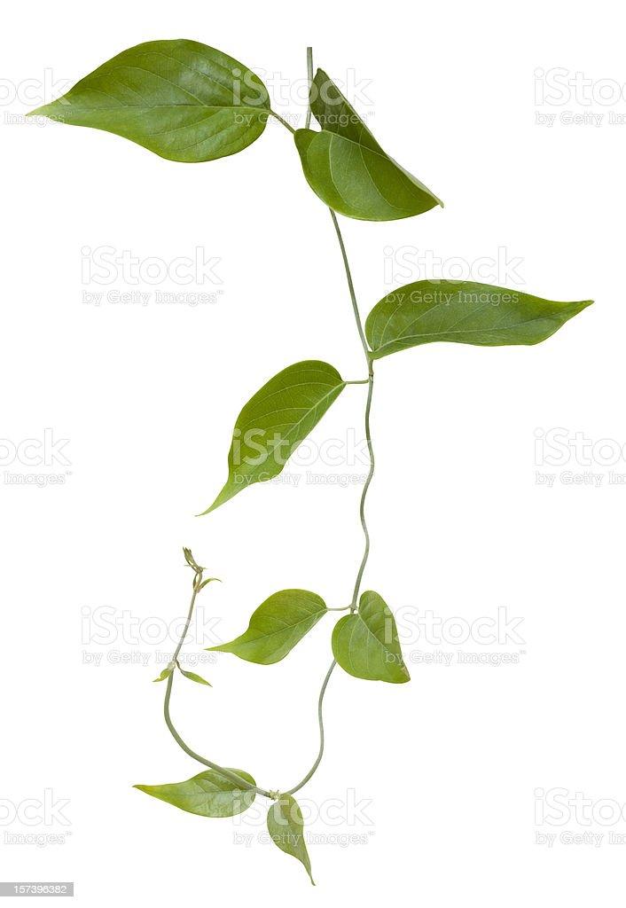 덩굴 식물, 클리핑 경로가 포함되어 있습니다. - 로열티 프리 가까운 스톡 사진