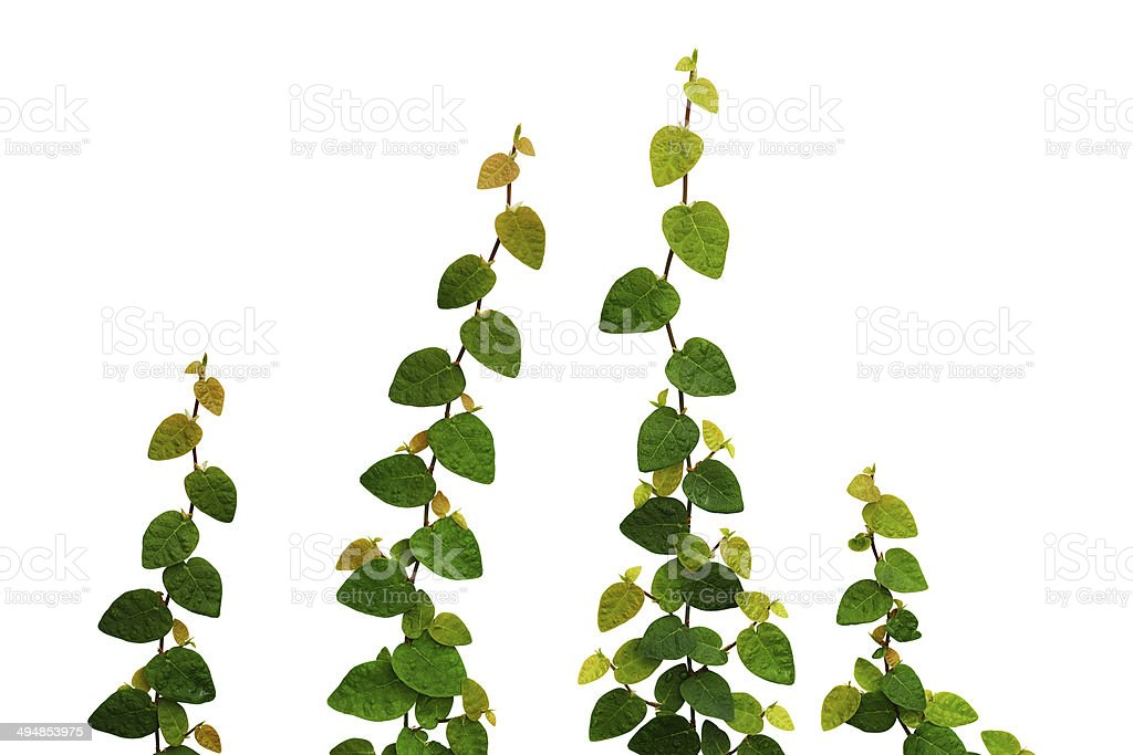 Creeper plant with clipping path included. stock photo