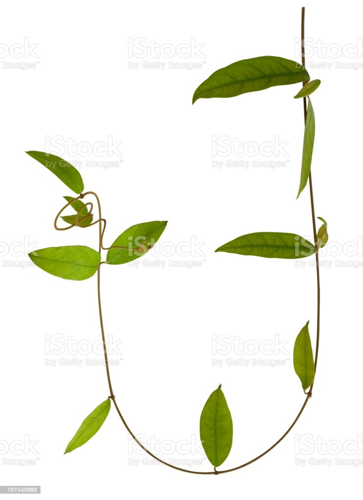 Creeper plant with clipping path. stock photo