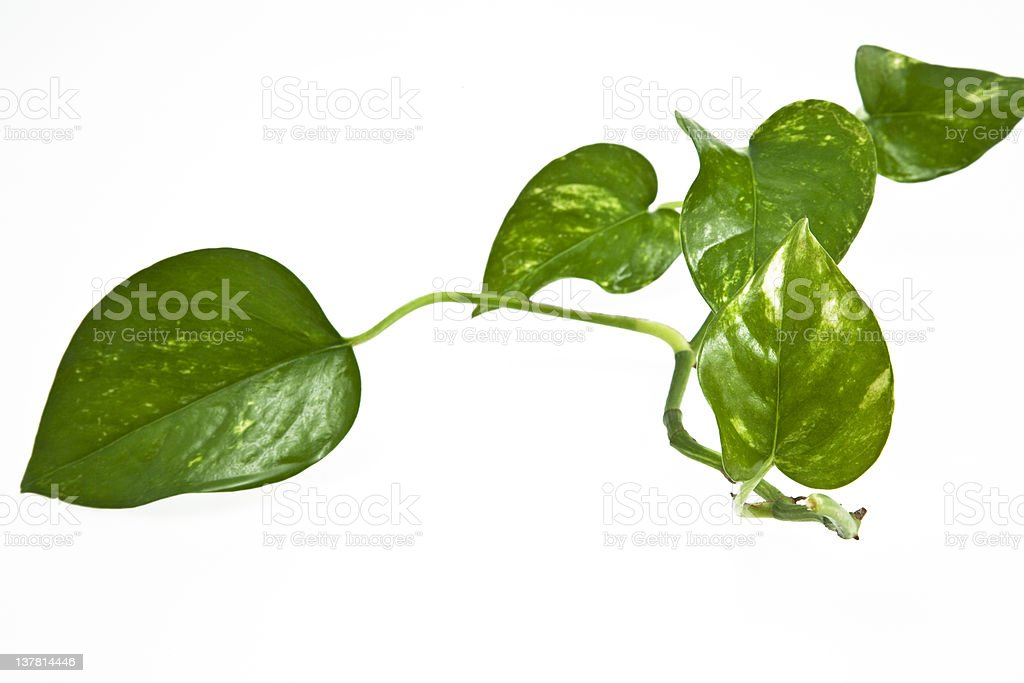 Creeper Plant with White Background. Color Image royalty-free stock photo