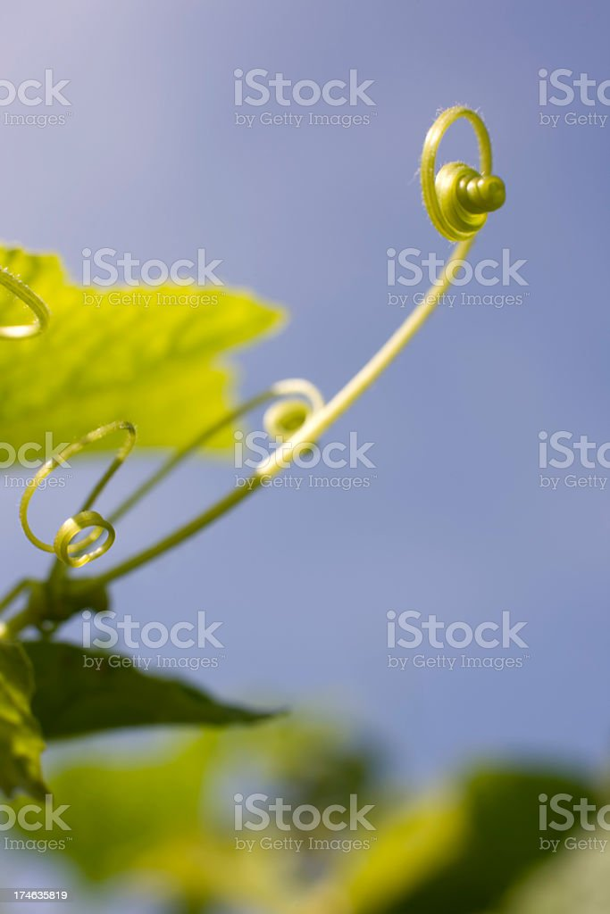 Creeper tendril and leaf background. royalty-free stock photo