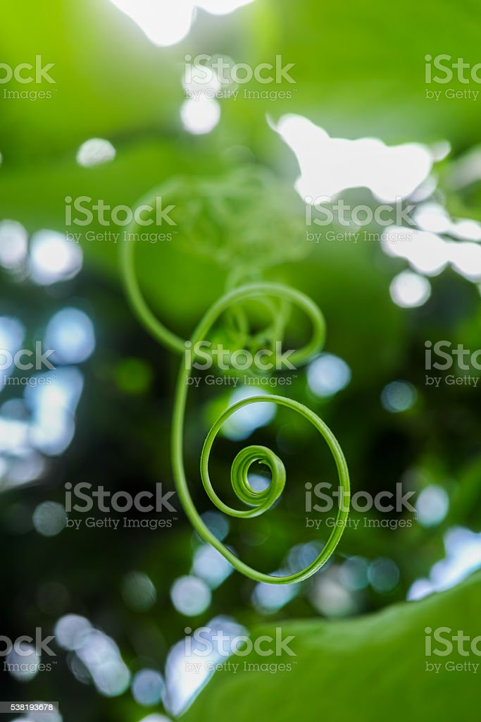 Creeper tendril and leaf background. stock photo