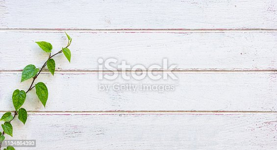 Creeper vine growing up an old wooden plank white weathered and worn wood paneled fence. Good copy space to the right of the image.