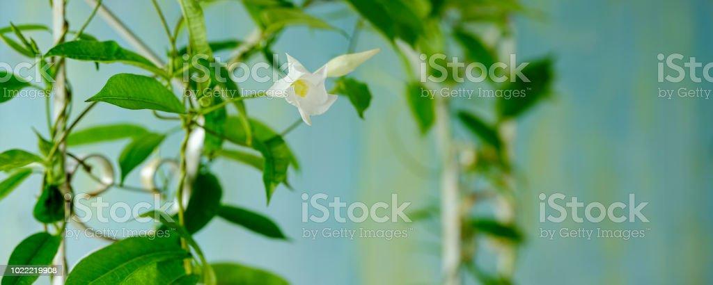 Creeper vine plant with white flowers climbing up an old rusty white creeper vine plant with white flowers climbing up an old rusty white colored iron decorative mightylinksfo