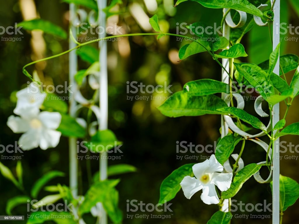 Creeper vine plants with white flowers climbing up an old rusty creeper vine plants with white flowers climbing up an old rusty white colored iron decorative mightylinksfo