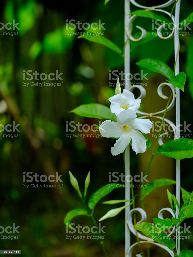 Creeper Vine Plants With White Flowers Climbing Up An Old Rusty