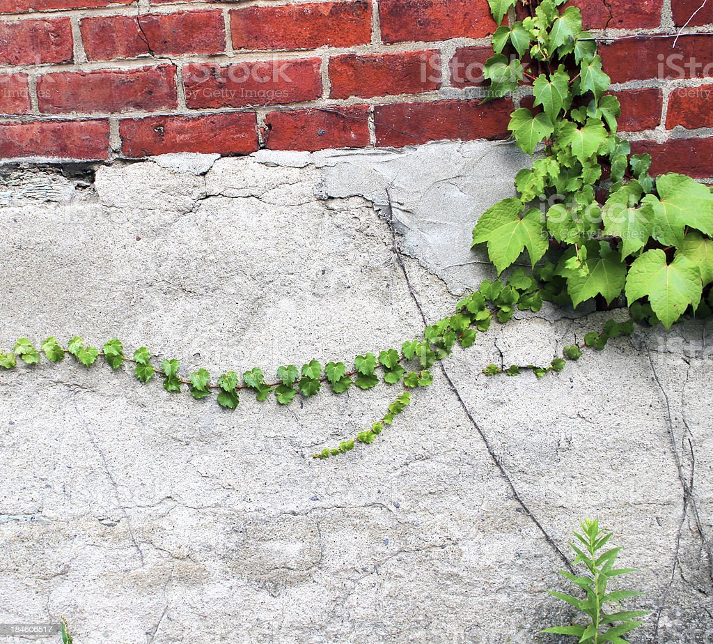 Creeping Ivy on Alley Wall stock photo
