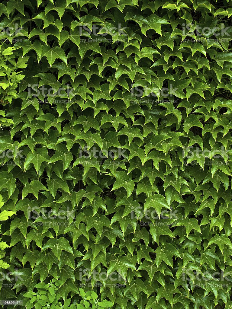 creeping ivy royalty-free stock photo