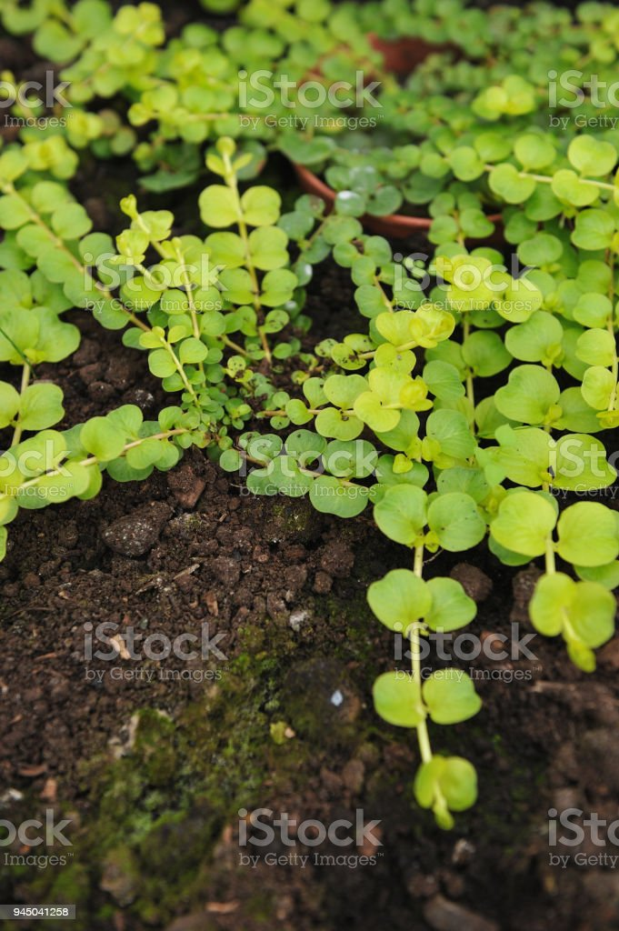 Creeping jenny stock photo