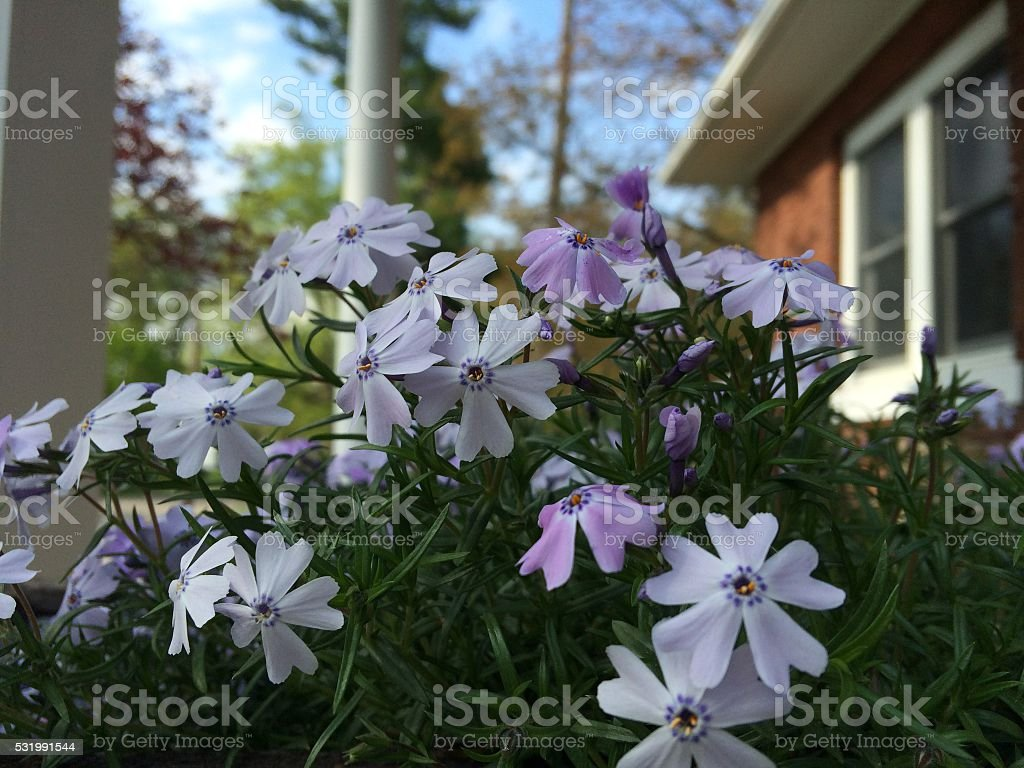 Creeping Phlox Flowers Stock Photo Download Image Now Istock