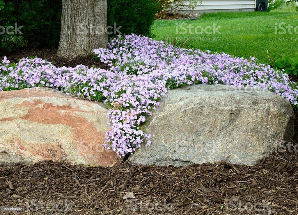 Creeping Phlox (Phlox subulata) Landscaping and Rock Retaining Wall stock photo