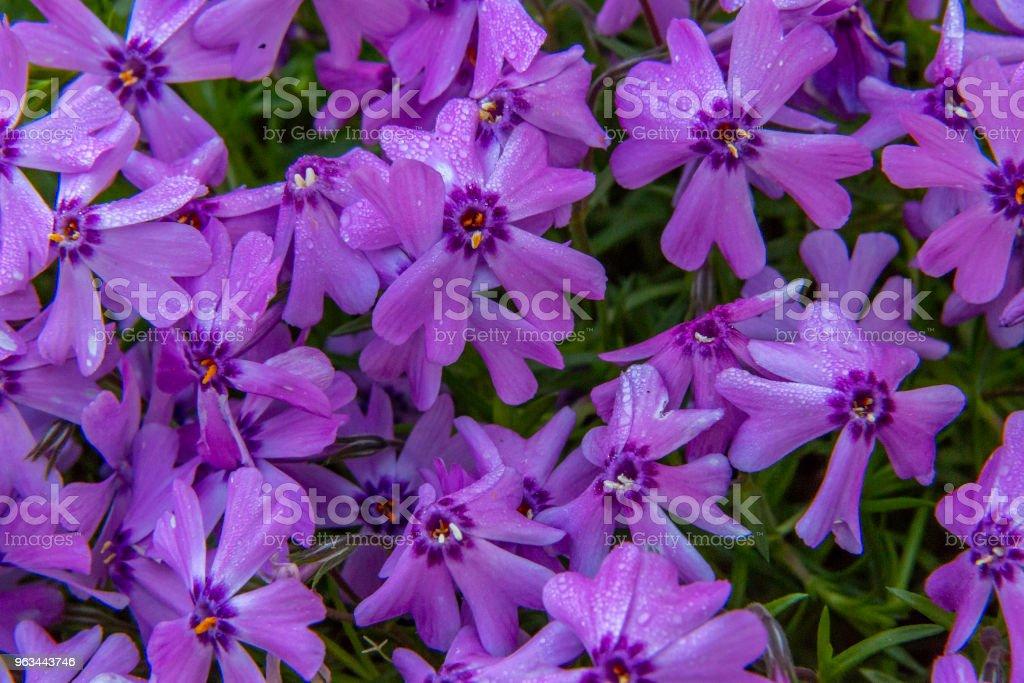 Sürünen Phlox - Royalty-free Ağaç Çiçeği Stok görsel