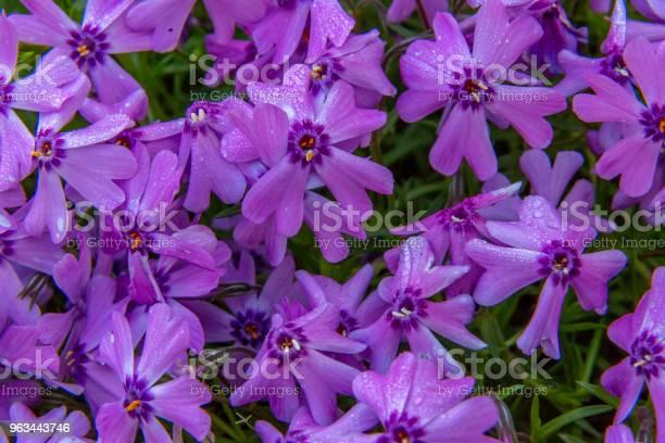 Sürünen Phlox Stok Fotoğraflar & Ağaç Çiçeği'nin Daha Fazla Resimleri