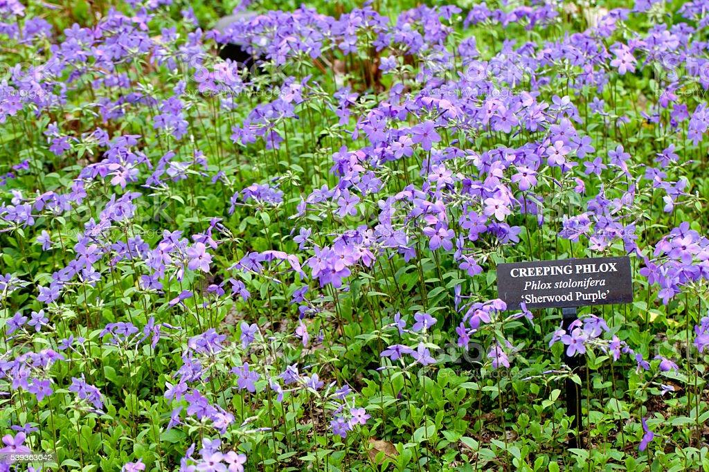Creeping Phlox (Phlox stolonifera) Sherwood Purple Flower stock photo