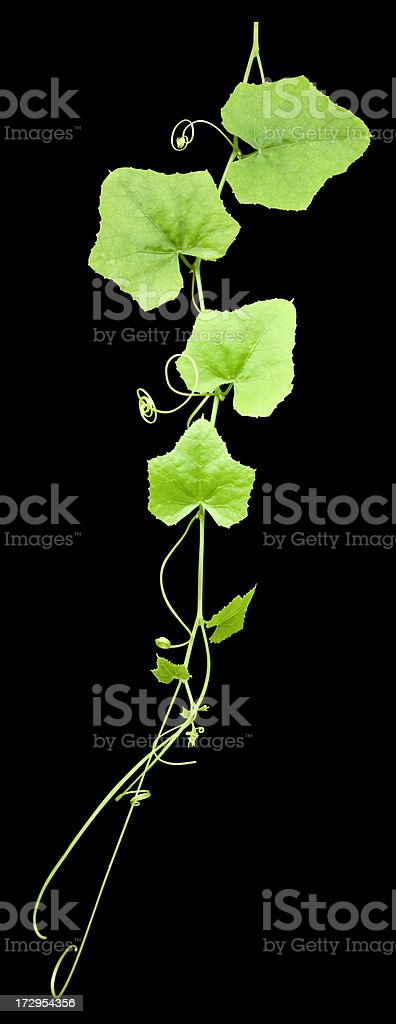 Creeping plant isolated on black, clipping path included. royalty-free stock photo