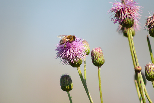 Creeping thistle in bloom with a bee on it close-up view
