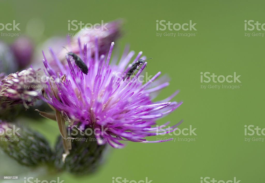 Creeping thistle royalty-free stock photo