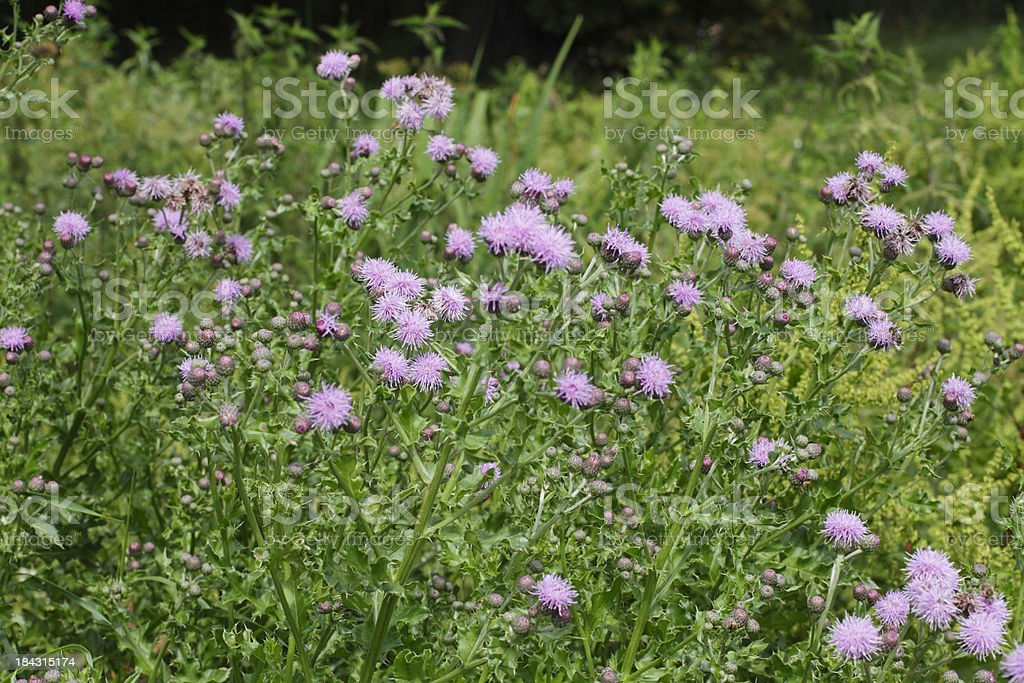 Clump of purple creeping thistle Cirsium arvensis stock photo
