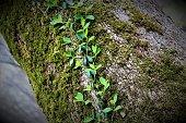 A creeping vine winding up a tree