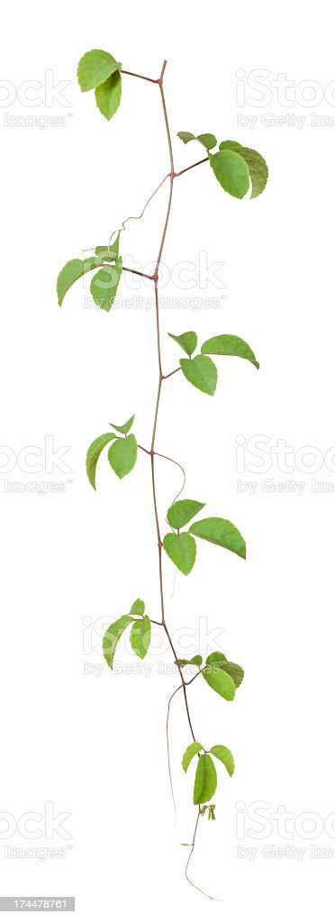 Creeping vine with clipping path included. royalty-free stock photo
