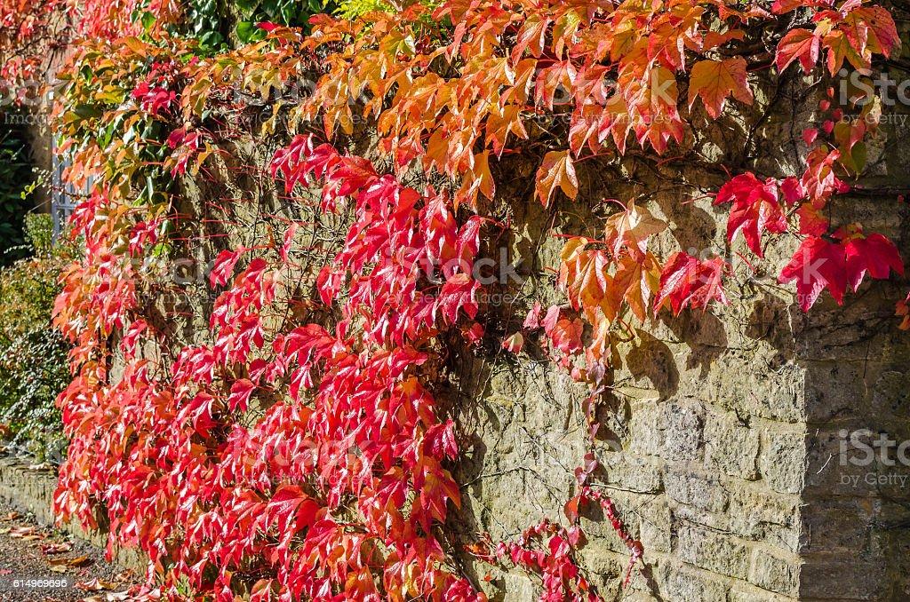 Creeping Virginia in Autumn stock photo