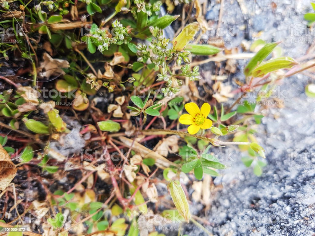 Arrastramiento vinagrillos o procumbentes amarillo-acedera - foto de stock