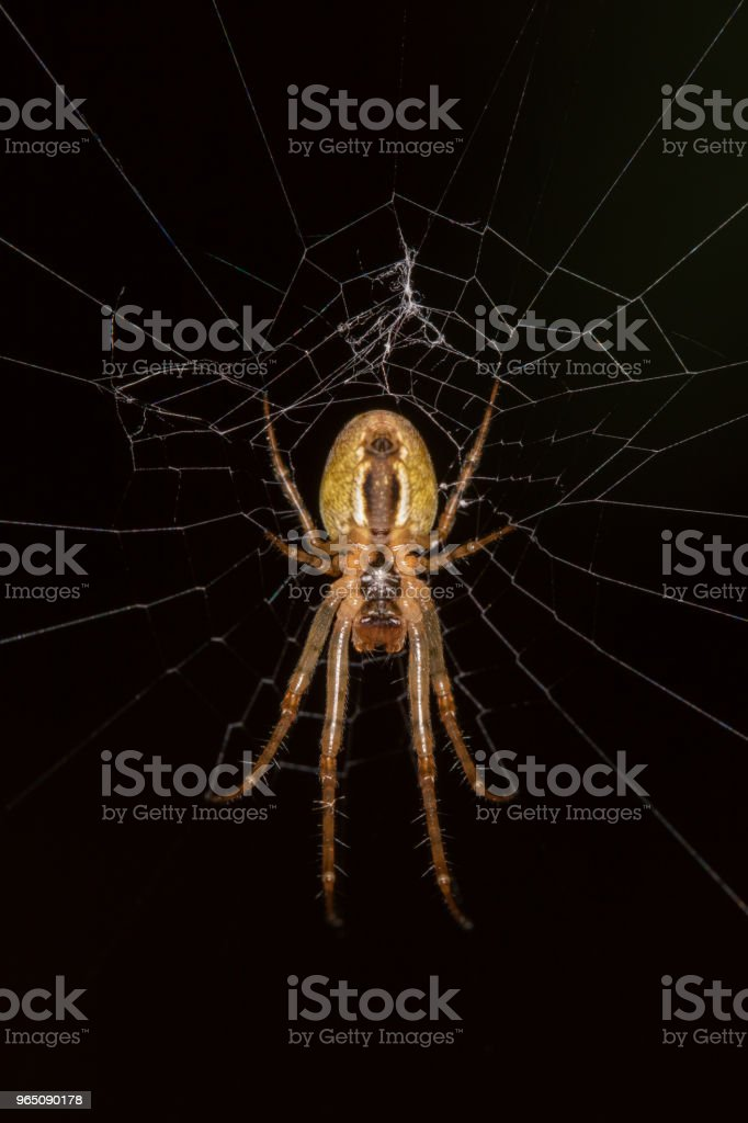 A creepy brown spider in a spiderweb - bottom view zbiór zdjęć royalty-free
