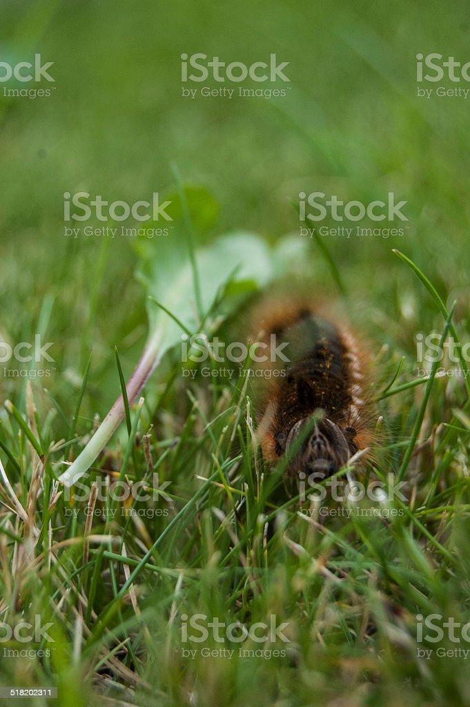 Creepy Crawly Caterpillar stock photo