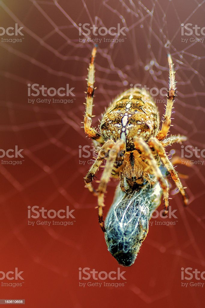 Creepy Spider royalty-free stock photo