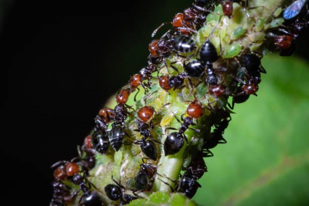 Crematogaster scutellaris isst Honigtau – Foto