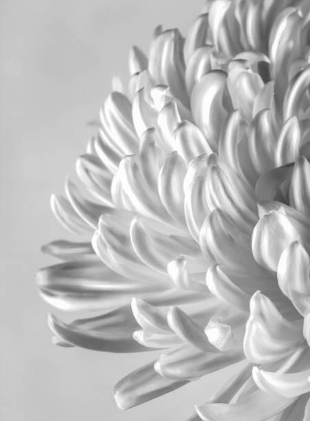 Cremone chrysanthemum flower in black and white stock photo