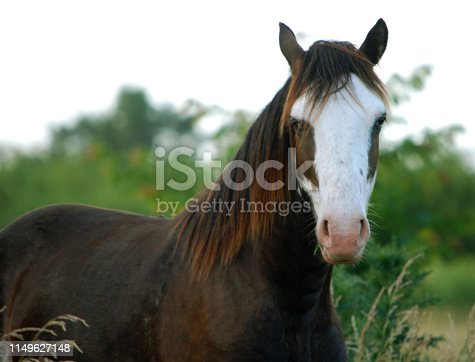 Creole horse overo in a rural scene closeup between pastures in a field in Argentina sunny day