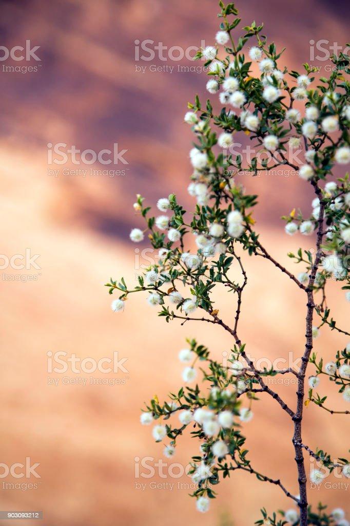 Creosote Bush bloom stock photo