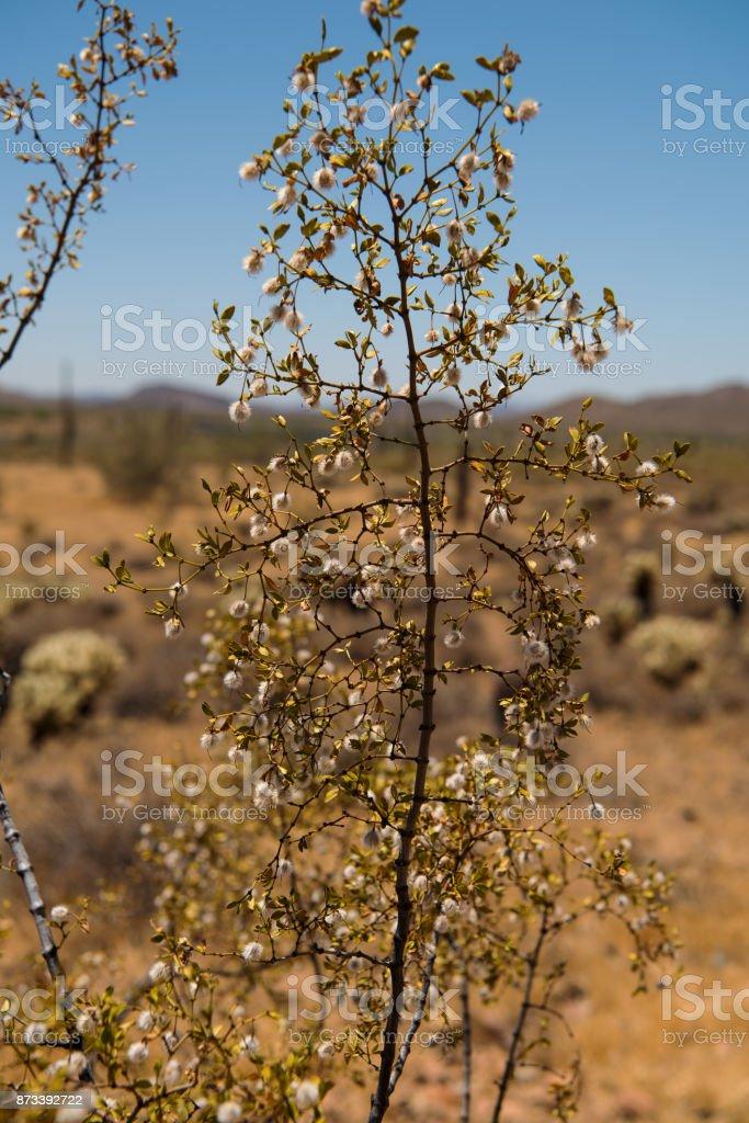 Creosote bush in the Sonoran Desert stock photo